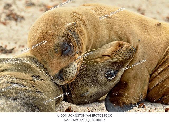 Galápagos sea lion (Zalophus wollebaeki), Galapagos Islands National Park, Espanola (Hood) Island, Punta Suarez, Ecuador