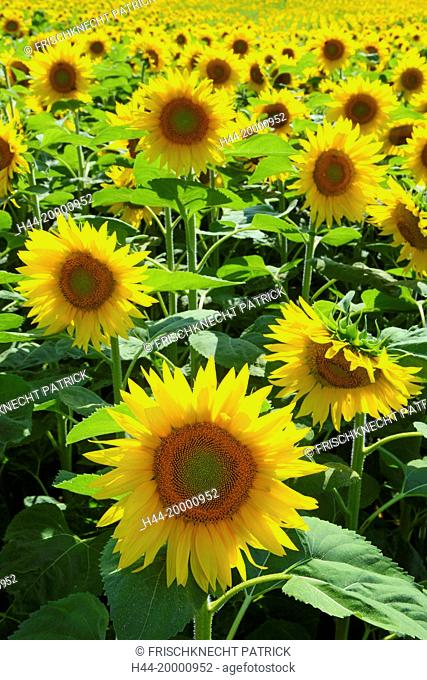 Sunflowers, Helianthus annuus, Switzerland