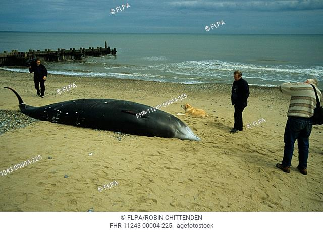 Cuvier's Beaked Whale Ziphius cavirostrisinga Three people & dog looking at stranded whale - Ostend, Norfolk