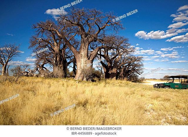 Group of ancient baobab (Adansonia digitata) trees, Baines Baobabs, Nxai Pan National Park, Botswana