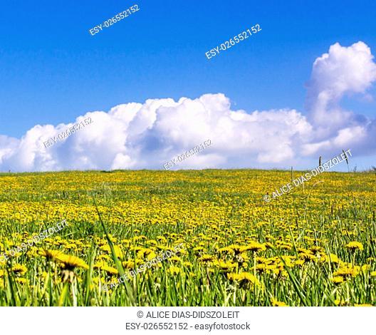 meadow dandelion blooming field blue sky bachground