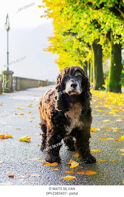 Portrait of a dog standing on a wet path in autumn; Locarno, Ticino, Switzerland