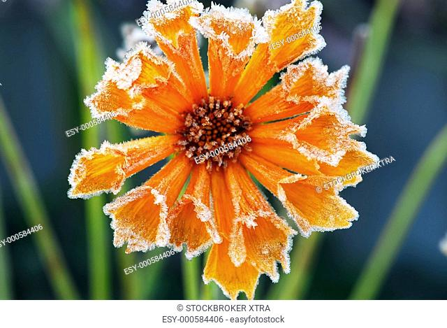 Morning frost on a flower in late fall. Focus on petals with ice crystals