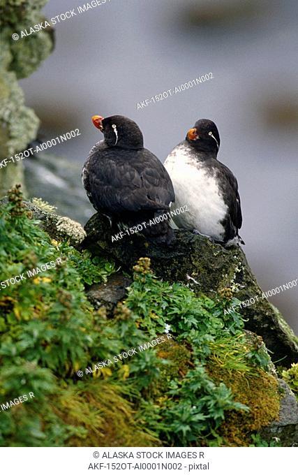 Parakeet Auklets on rock Ledge St. George Island AK