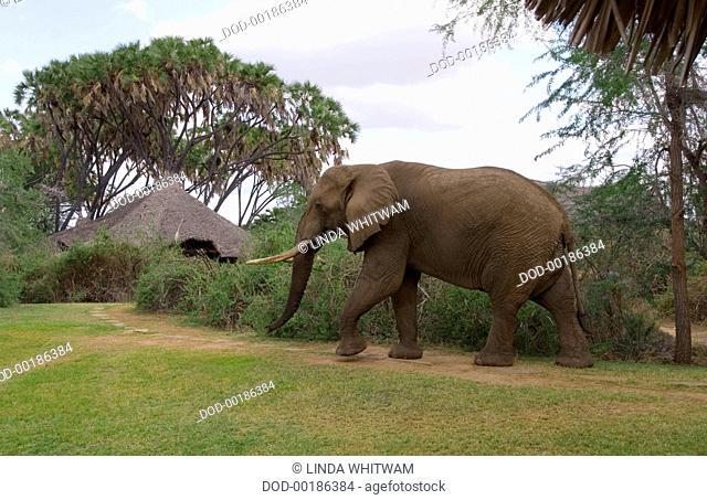 KENYA SOUTHEASTERN SAVANNAHS. Tsavo East National Park - Galdessa Camp,elephant wandering pround camp