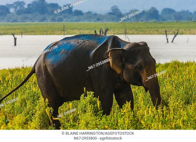 Elephants, Udawalawe National Park, Sri Lanka. Udawalawe is an important habitat for water birds and Sri Lankan elephants