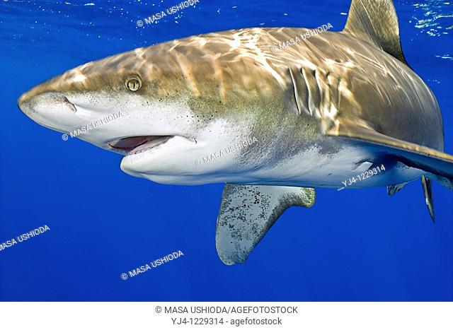 oceanic whitetip shark, Carcharhinus longimanus, open mouth, Kona Coast, Big Island, Hawaii, USA, Pacific Ocean