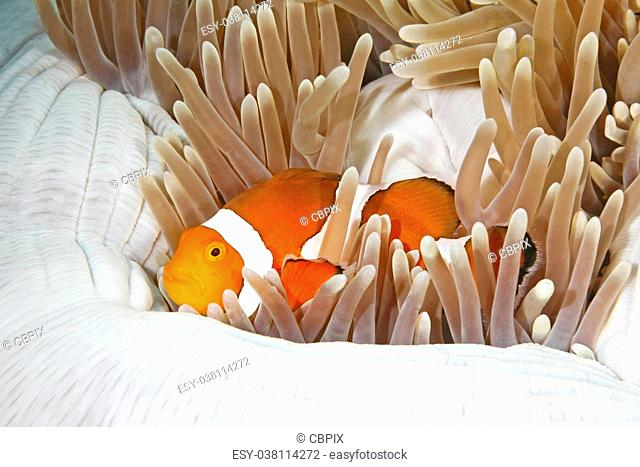 A clown Anemonefish, Amphiprion percula, sheltering among the tenacles of its anemone home