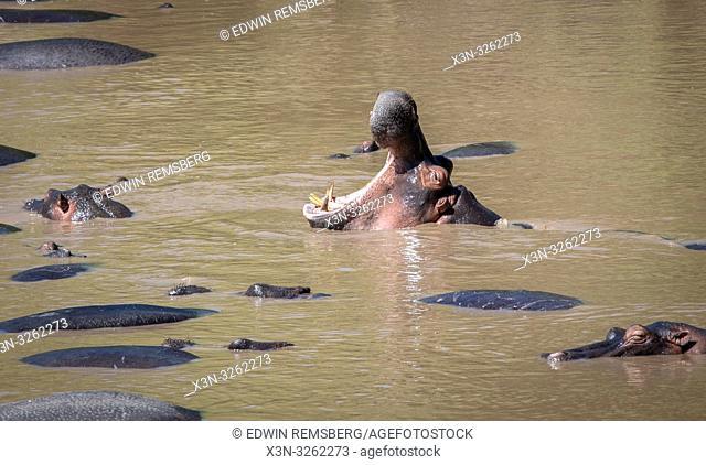 Several Common hippopotamus (Hippopotamus amphibius) bathe in the muddy water at Maasai Mara National Park, Kenya