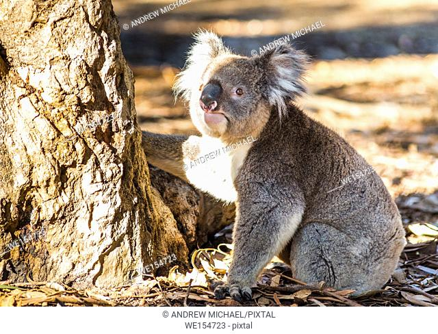 Koala (Phascolarctos cinereus) comes down from a tree, on Kangaroo Island, South Australia, Australia