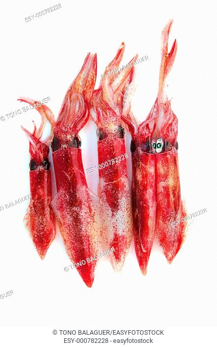 fresh squid Loligo vulgaris seafood catch on white background