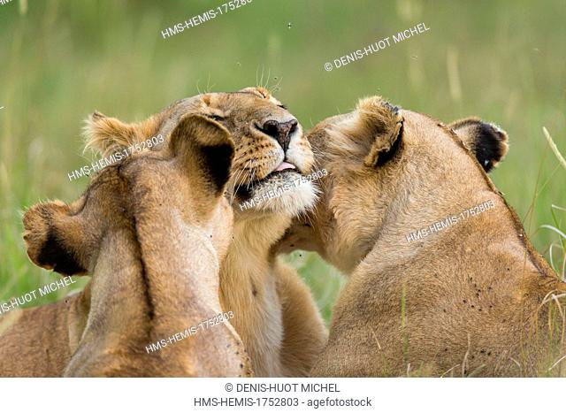 Kenya, Masai-Mara game reserve, lion (Panthera leo), lionesses from a pride cleaning themselves