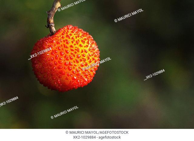 Strawberry tree fruit, close up