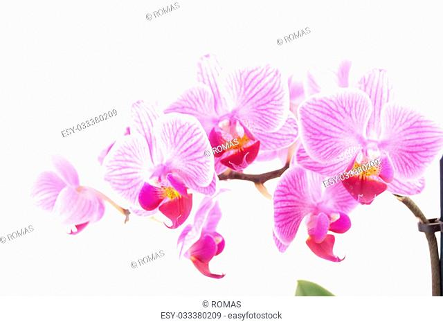 Pink orchid in pot on white background. Image of love and beauty. Natural background and design element