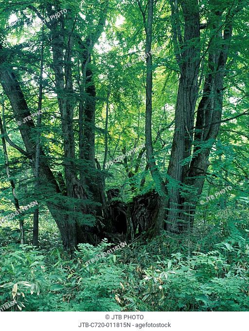 Lake Shikotsu ridge big tree forest Cercidiphyllum japonicum , Old tree Chitose Hokkaido Japan Woods