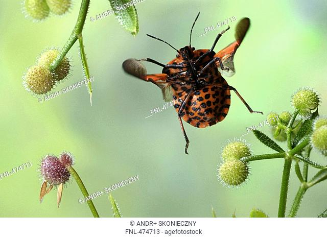 Close-up of shield bug hovering over flower