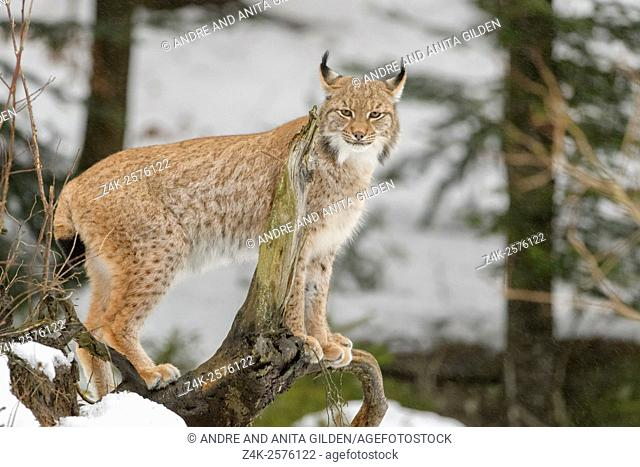 Eurasian Lynx (Lynx lynx) standing on wooden log, looking at camera, controlled Bavarian forest, Germany