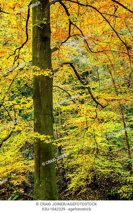 Beech tree displaying it's vivid colours in autumn  Prior's Wood, Portbury, North Somerset, England