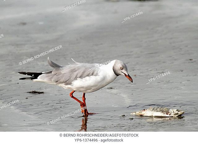 Grey-headed Gull Larus cirrocephalus, feeding on dead fish, The Gambia, Africa