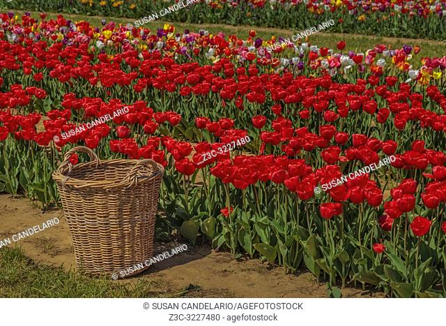 Basket For Tulips - Wicker basket sits by one of the many rows of a variety of types and colors of Tulips in the farm field during the golden hour