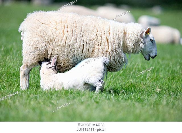 Lamb suckling sheep in sunny green spring field