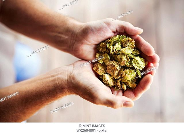Close up of human hands holding a handful of dried hops