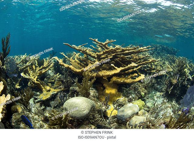 Field of Elkhorn coral