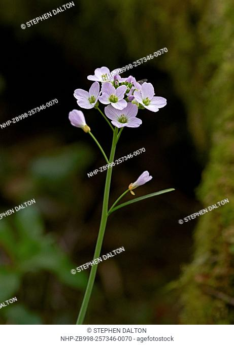 LADY's SMOCK or CUCKOO FLOWER (Cardamine pratensis) Sussex, England