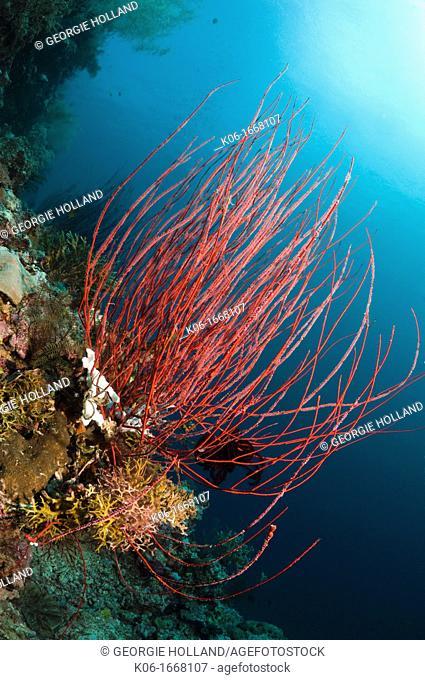 Sea whip Ellisella ceratophyta  Misool, Raja Ampat, West Papua, Indonesia