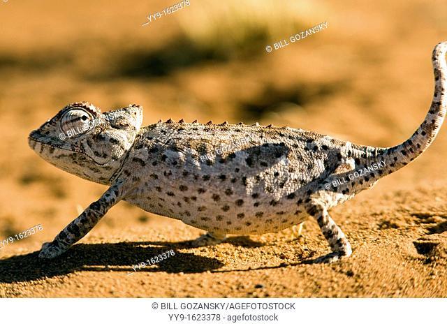 Namaqua Chameleon - Wolwedans - NamibRand Nature Reserve - Hardap Region, Namibia, Africa