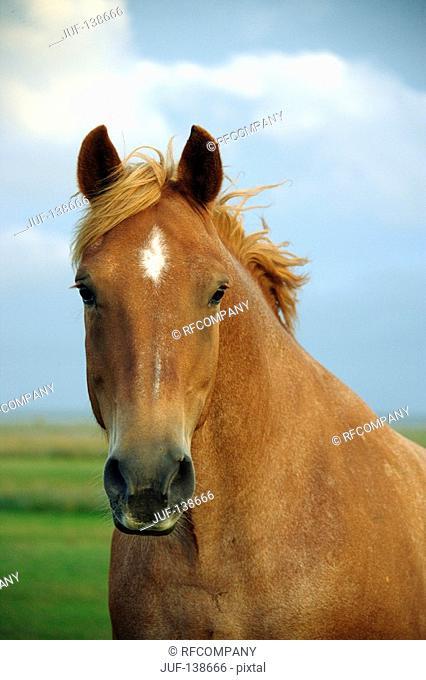 jutland horse - portrait