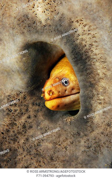Yellow moray (Gymnothorax prasinus) in grey sponge. Poor Knights Islands, New Zealand