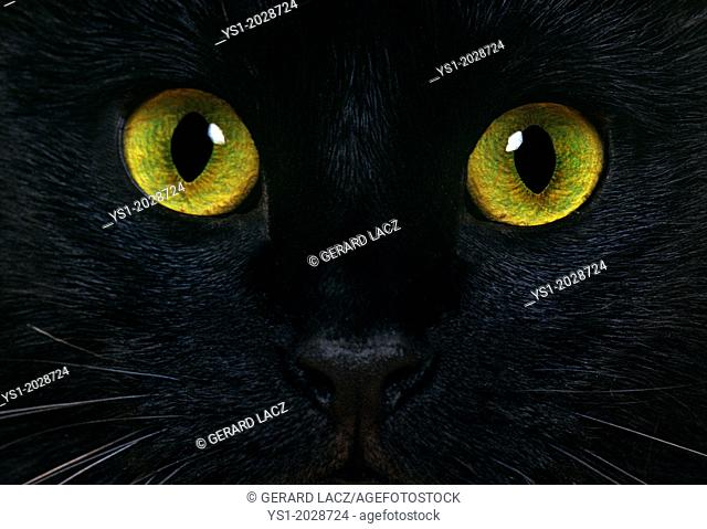 Black Domestic Cat, Close up of Eyes