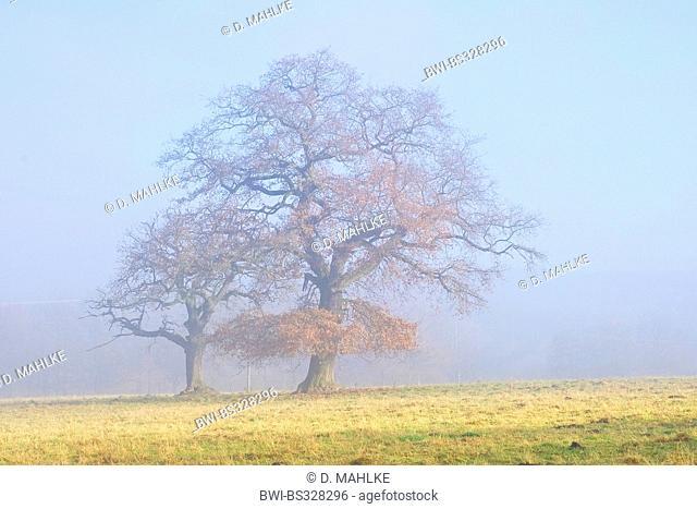 common oak, pedunculate oak, English oak (Quercus robur), old oaks in mist, Germany, Hesse, Beberbeck