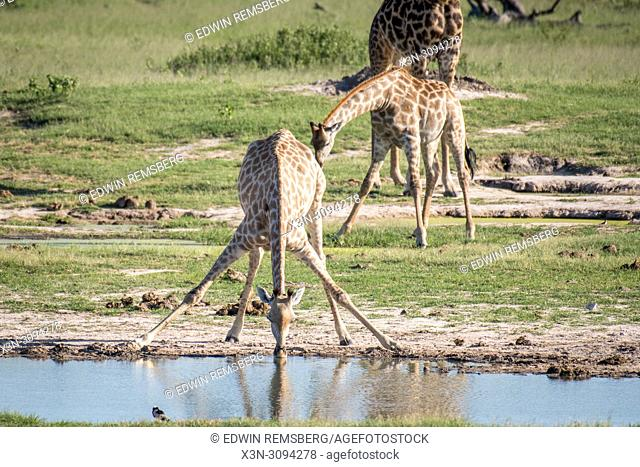 A giraffe bends down to get a drink of water while other giraffes stand nearby. Zimbabwe