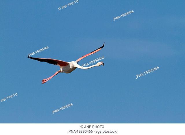 Greater Flamingo Phoenicopterus ruber roseus - France, Europe