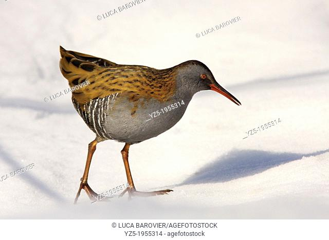 Water Rail on the snow