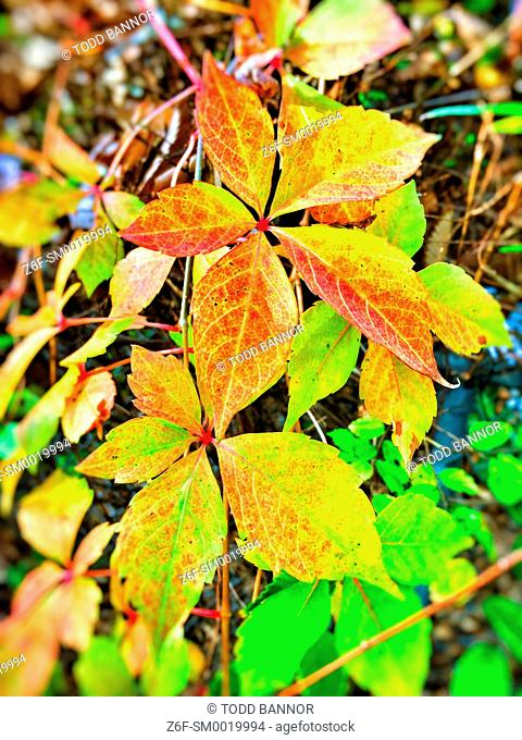 Virginia creeper in autumn