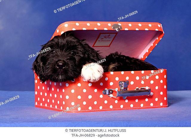 Portuguese Sheepdog Puppy
