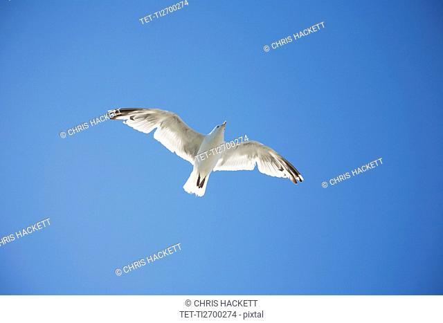 Herring Gull flying against blue sky
