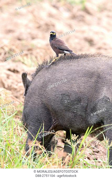 Sri Lanka, Yala national patk, Common Myna (Acridotheres tristis) on the back of a wild boar (Sus scrofa affinis), removes, cleans parasites