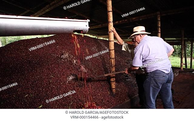 Collection of coffee beans to be pulped. The pulp is mixed organically and used as an ecological fertilizer. Coffee Plantation Farm in the rural area of Huila