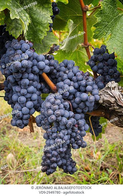 Vineyards. Pomerol. Bordeaux wine region. Aquitaine Region, Gironde Department. France Europe