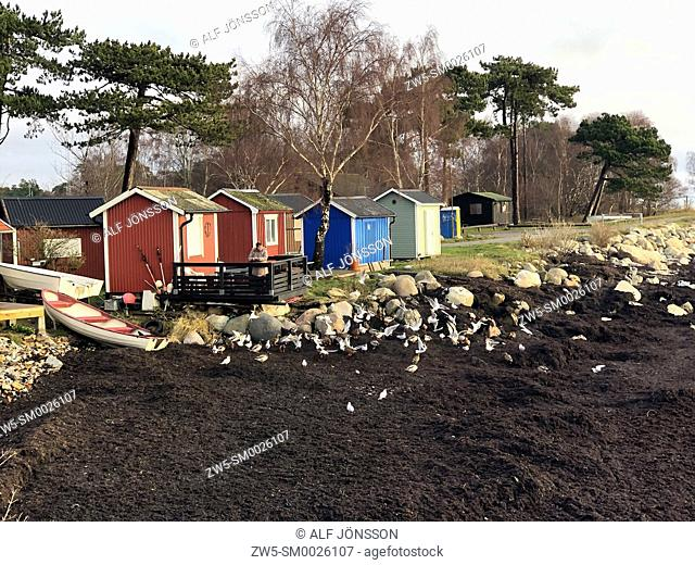 Seaweed with seagulls at fishing huts in Ystad, Sweden, Baltic sea, Europe