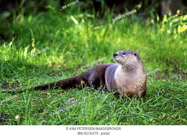 Northern River Otter, North American River Otter (Lontra canadensis), Oregon, USA