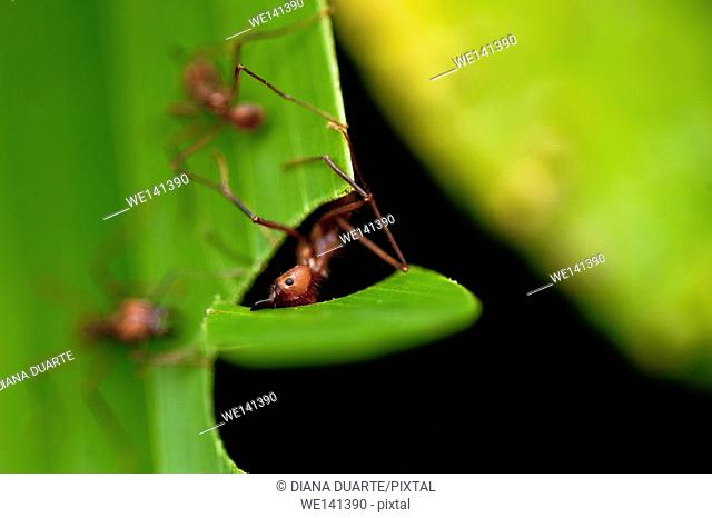 'Leaf-cutter Ant'(Atta cephalotes), Deep within the nest, the ants physically and chemically cultivate subterranean â. œgardensâ