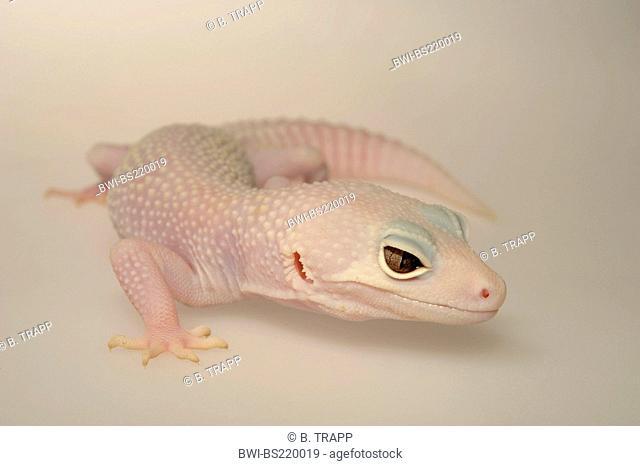 Leopard gecko (Eublepharis macularius), breed