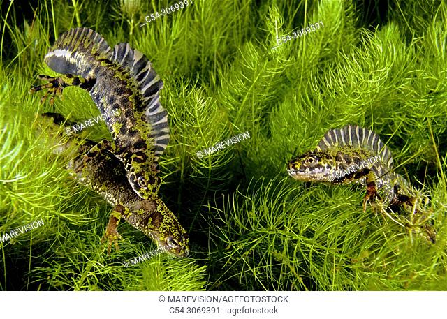 Freshwater Rivers. Marbled newt (Triturus marmoratus). Males in heat. Rubillon's Lagoon. Sierra do Suido. Galicia. Spain. Europe