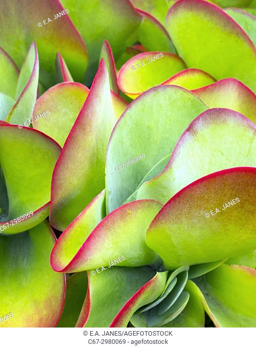 Flapjack plant Kalanchoe thyrsiflora