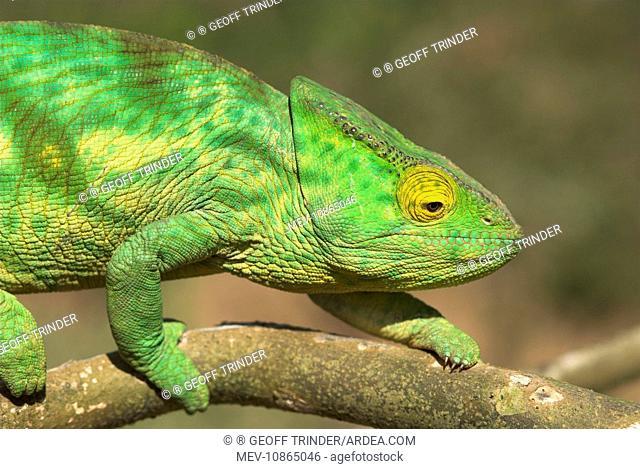 Parson's Chameleon, close up on branch (Calumma parsonii ). Madagascar